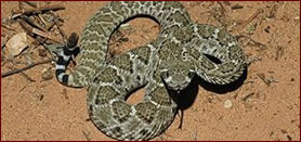 Arizona Rattlesnake
