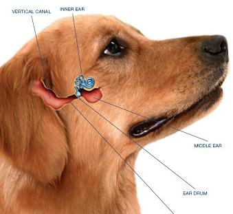 What Causes Dogs To Get Yeast In Ears