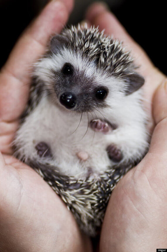 o-BABY-HEDGEHOG-570