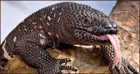 Poisonous Gila Monster