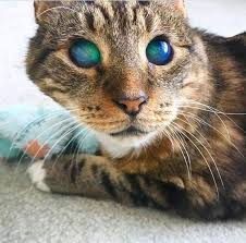 blindness, retinal detachment in cats