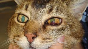 blood in cat eye due to hypertension